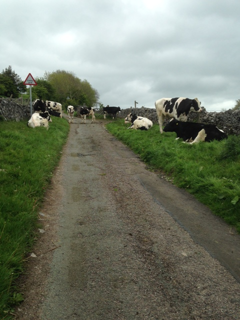 Larkstone Lane Cows blocking road